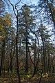 Пихта цельнолистная - самое высокое дерево - 46 м!.jpg