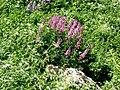 Растения на горе Шелудивой.jpg