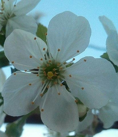 Цветок черешни с пятью лепестками