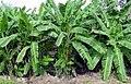 حقول الموز .jpg