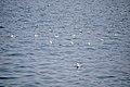 رفتار مرغان دریایی نوروزی یا یاعو در کشور عمان، شهر مسقط، ساحل دریای عمان - عکس مصطفی معراجی 05.jpg