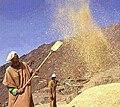 عملية تنقية المحصول الزراعي بعد درسه بالدواب بأحد دواوير المغرب.jpg