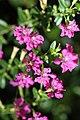 หลิวไต้หวัน Cuphea hyssopifolia Kunth (6).jpg