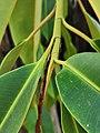印度橡膠榕 Ficus elastica 20201007182924 05.jpg