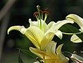 東方喇叭雜交百合 Lilium Corcovado -廣州冠勝農業公園 Guangzhou, China- (44565832464).jpg