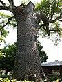 永利のオガタマノキ OGATAMA Tree of Nagatoshi - panoramio.jpg