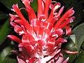 火焰鳳梨(水塔花) Billbergia pyramidalis -深圳仙湖植物園 Fairy Lake Botanical Garden, China- (9204833679).jpg