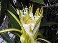 火龍果(量天尺,霸王花) Hylocereus undatus -香港公園 Hong Kong Park- (9227116271).jpg