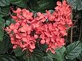 爪哇楨桐 Clerodendrum speciosissimum -香港嘉道理農場 Kadoorie Farm, Hong Kong- (9207615736).jpg