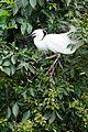 白鷺鷥 Egret - panoramio.jpg