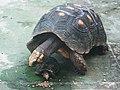 紅腿象龜 Red-footed tortoises (Chelonoidis carbonaria) - panoramio.jpg