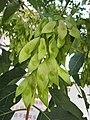 臭椿 Ailanthus altissima -青島基督教堂 Qingdao Protestant Church, China- (14666309311).jpg
