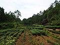 茶园 - Tea Garden - 2015.07 - panoramio.jpg