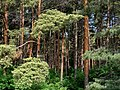 赤松林 Red Pine Grove - panoramio (1).jpg