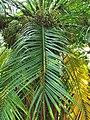 軟葉刺葵 Phoenix roebelenii 20201013101916 04.jpg