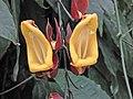 黃花老鴉咀 Thunbergia mysorensis -英格蘭 Wisley Gardens, England- (9216127044).jpg