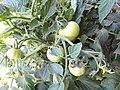 -2018-07-13 Fruit on Varity 'Sub Arctic Plenty' Tomato Plants, Trimingham (2).JPG
