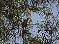 ... Indian Gray Hornbill (♂) (5287969737).jpg