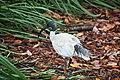 01 Australian white ibis - fauna in Sydney, Australia.jpg