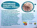03 Graal-Müritz GROßartige Flora und Fauna Texttafel Kupferbrauner Sandlaufkäfer Cicindela Hybrida.JPG