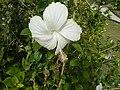 0581jfHibiscus rosa-sinensis White Pink Cultivarsfvf 10.jpg