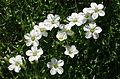 0 Minuartia graminifolia - Samoëns.JPG