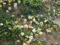 10 מפרץ הצדפים , שמורת חוף דור-הבונים פרחים.jpg
