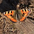 11 March 2012, spring in Holland starts, already butterflies - panoramio.jpg