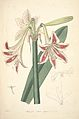 12 Amaryllis vittata major - John Lindley - Collectanea botanica (1821).jpg