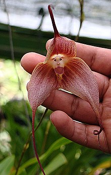 15.Dracula simia, the Monkey Face Orchid (10957423336).jpg
