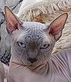 1 adult cat Sphynx. img 047.jpg