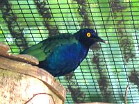2006 09 09 153328 Lamprotornis purpureus ubt