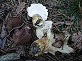 2008-09-11 Albatrellus pes-caprae Pouzar 37540.jpg