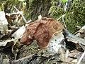 2011-04-19 Gyromitra fastigiata (Krombh.) Rehm 205082.jpg
