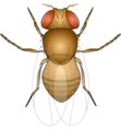 201108 fruitfly.png