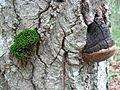 2012-06-29 Phellinus nigricans (Fr.) P. Karst 231936.jpg