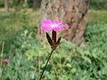 20120624Dianthus carthusianorum1.jpg