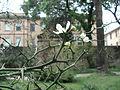 2014-04-03 - Poncirus trifoliata - Pisa.JPG