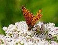 2014-06-26 12-47-33 Brenthis daphne.jpg