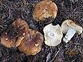 2014-08-21 Russula laurocerasi Melzer 451843.jpg