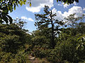 2014-08-26 14 28 19 Pitch Pine along the Appalachian Trail about 4.9 miles northeast of the Delaware Water Gap in Worthington State Forest, New Jersey.JPG