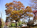 2014-10-30 11 24 51 Large oak during autumn on Lower Ferry Road in Ewing, New Jersey.JPG