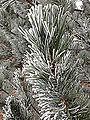 2014-12-17 09 46 16 Rime from freezing fog on pine needles in Elko, Nevada.JPG