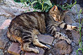 20140806 Cat at Largo di Torre Argentina Rome 1583.jpg