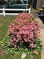 2017-05-14 12 21 38 'Rosebud' Azaleas blooming along Terrace Boulevard in Ewing Township, Mercer County, New Jersey.jpg