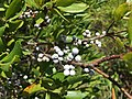 2017-09-04 12 37 18 Northern Bayberry fruit along the sand road leading to Barnegat Inlet within the Southern Natural Area of Island Beach State Park, in Berkeley Township, Ocean County, New Jersey.jpg
