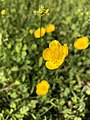 2019-04-27 15 24 30 Buttercups in a lawn in the Franklin Farm section of Oak Hill, Fairfax County, Virginia.jpg