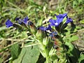 20190627Anchusa officinalis1.jpg