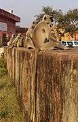 20191218 Semnopithecus entellus, Jaigarh Fort, Amer, Jaipur, 1558 9374.jpg