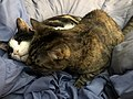 2020-03-22 09 07 51 A Tabby cat and a Calico cat cuddling on a bed in the Franklin Farm section of Oak Hill, Fairfax County, Virginia.jpg